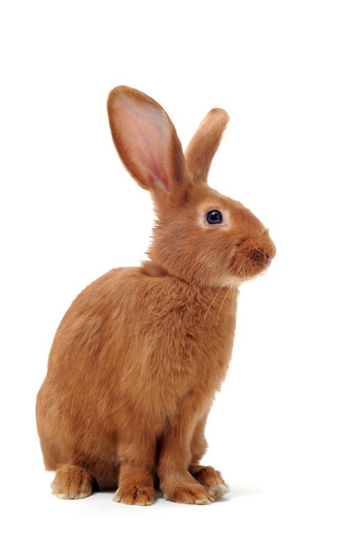 Giant Chinchilla Rabbit Fauve de Bourgogne For...