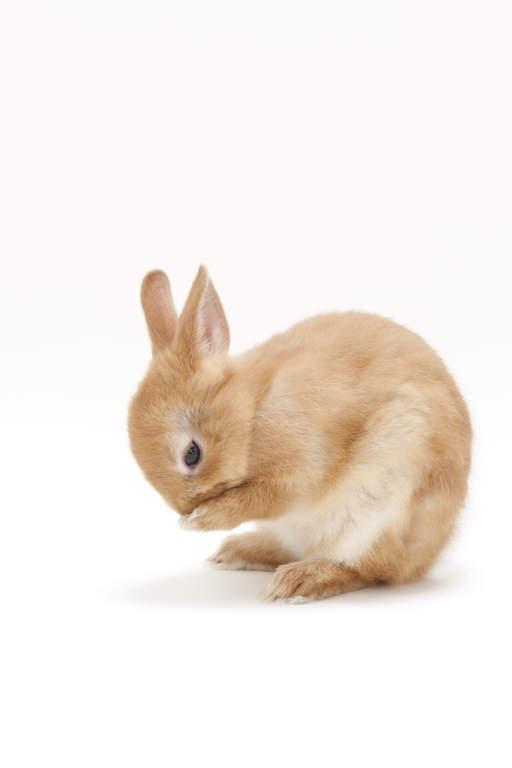 White Dwarf Rabbit Red Eyes