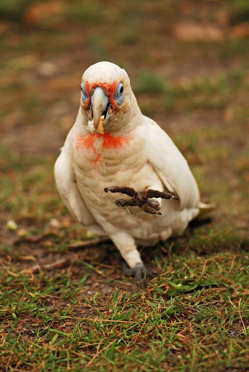 white scarlet macaw