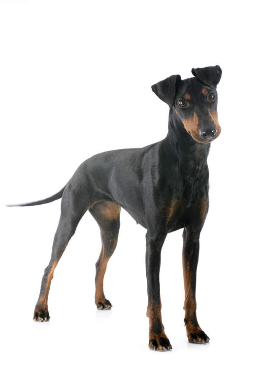 Manchester Terrier Dogs Breed Information Omlet