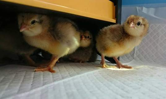 Partridge Araucana chicks