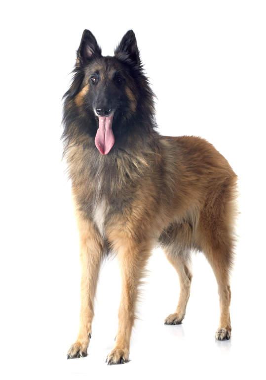 Schipperke Belgian Shepherd Dog (...