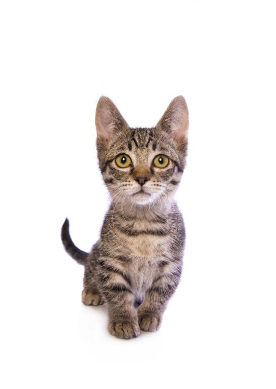 Munchkin Cats Breed Information Omlet
