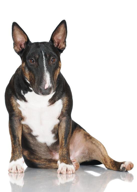 Miniature Bull Terrier | Dogs | Breed Information | Omlet