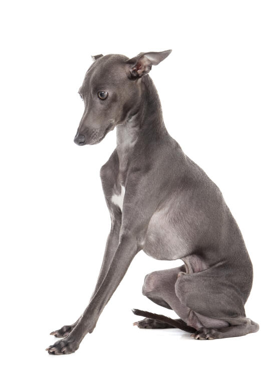 Italian Greyhound | Do...