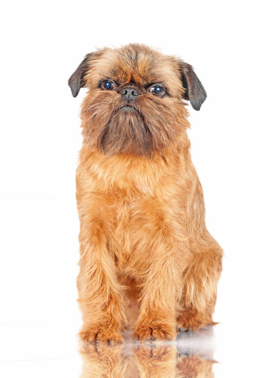 Dog Belgian Griffon Black