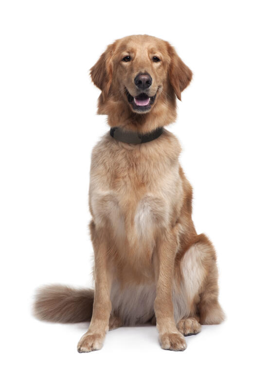 Hovawart Dogs Breed Information Omlet