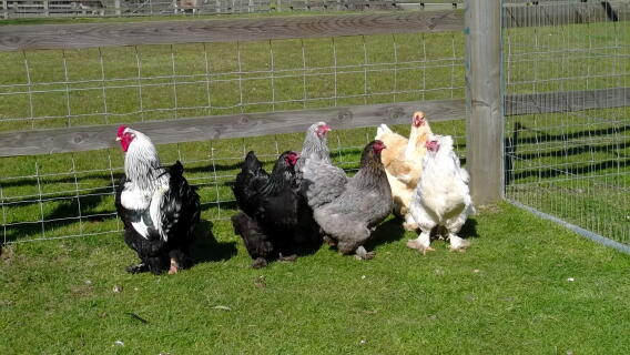 Brahma's enjoying the Spring sunshine
