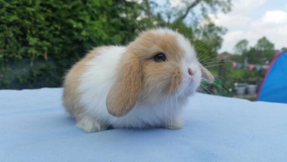 mini lop for sale rabbits breed information omlet. Black Bedroom Furniture Sets. Home Design Ideas