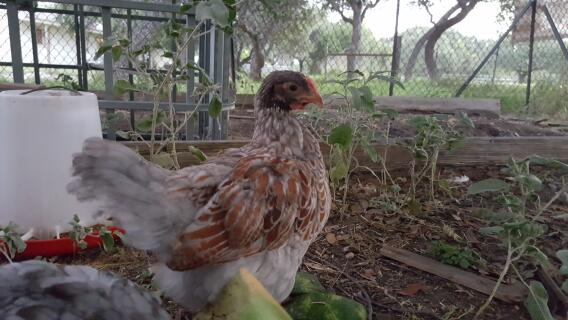 Blue Laced Red about 8 weeks