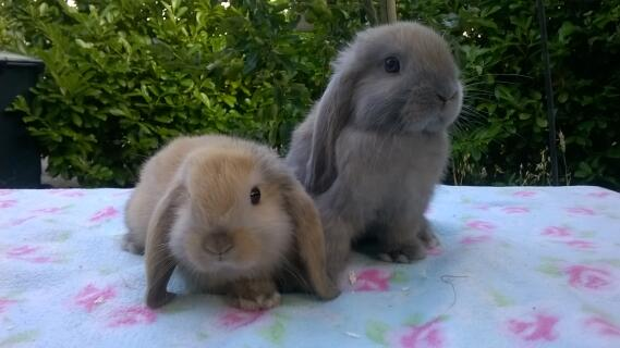 Mini Lop For Sale Rabbits Breed Information Omlet