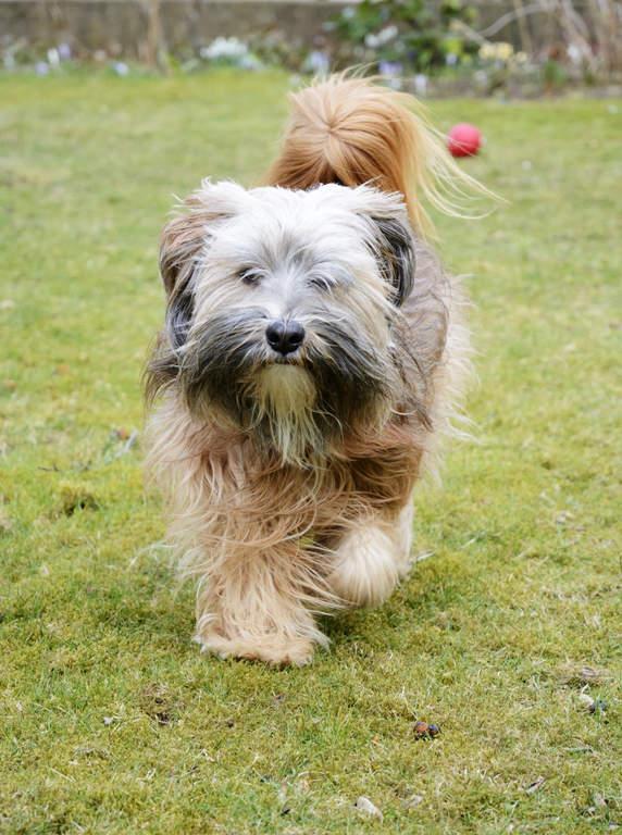 Tibetan Terrier Dogs Breed Information Omlet
