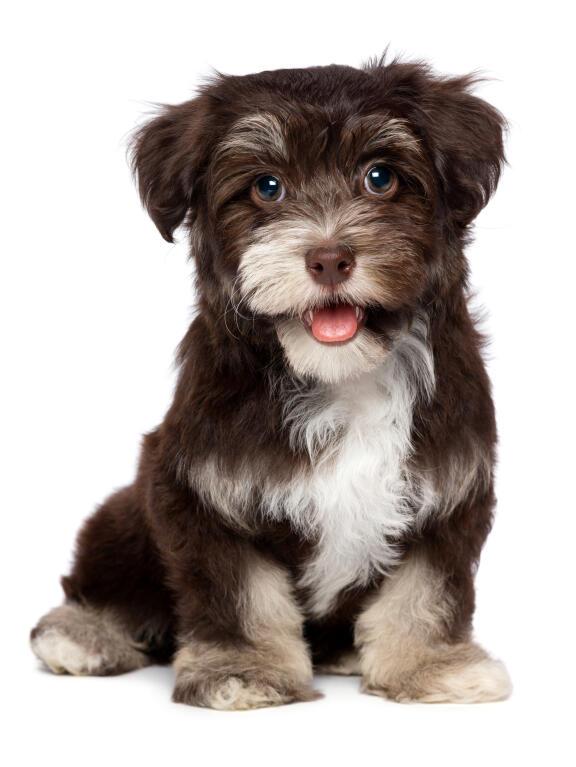 Havanese | Dogs | Breed Information | Omlet