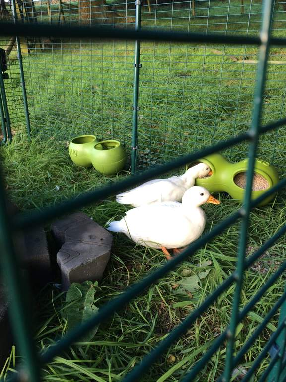 Eglu duck house with 2m run green ducks chicken for Duck houses and runs