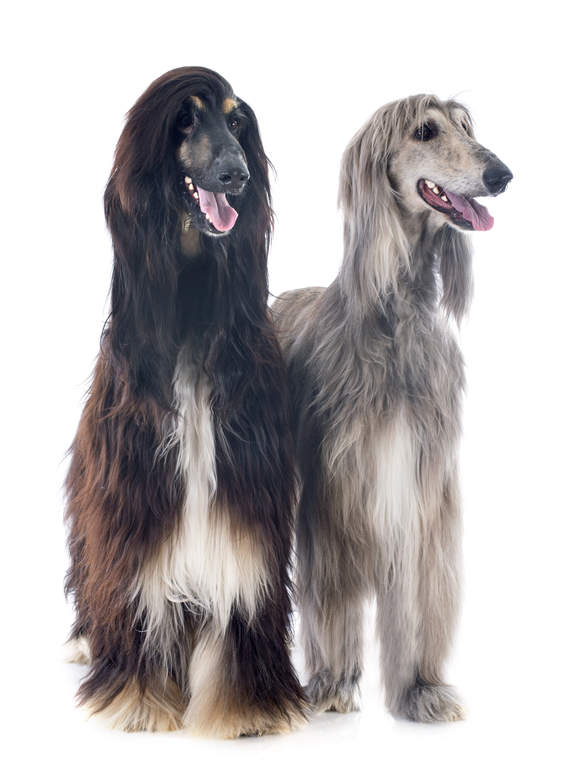Afghan Hound Dogs Breed Information Omlet
