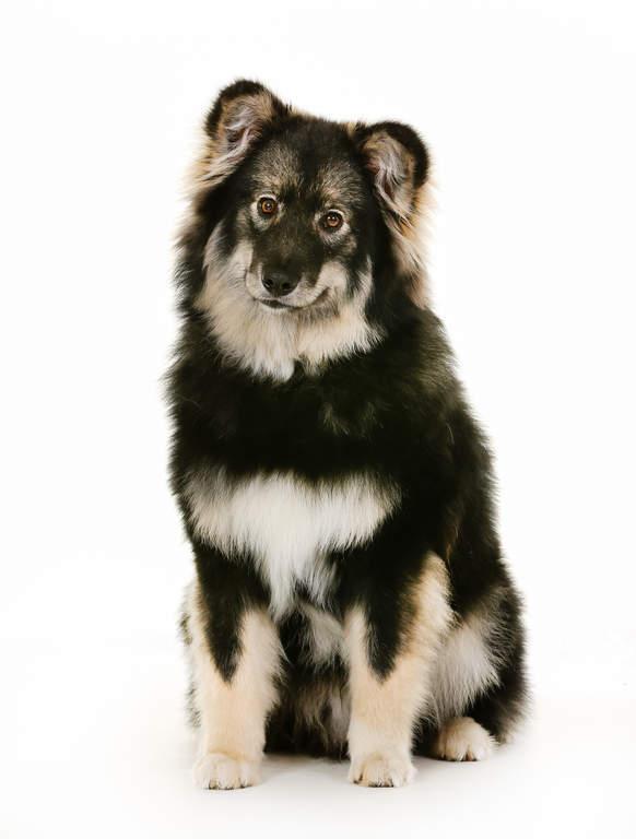 Finnish Lapphund | Dog...