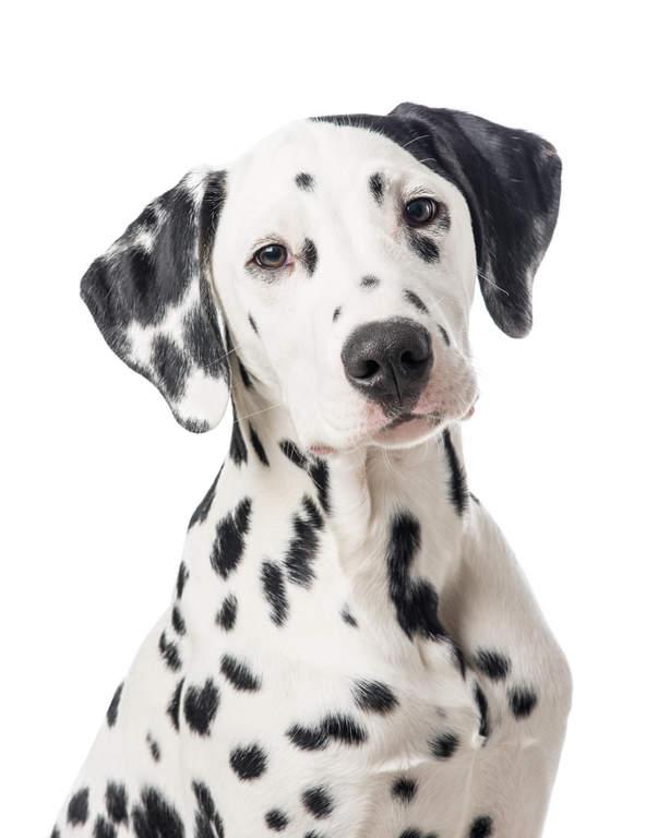 Dalmatian Dog Ears
