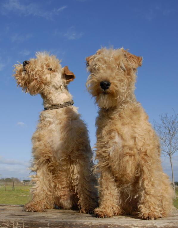 Lakeland Terrier | Dog...