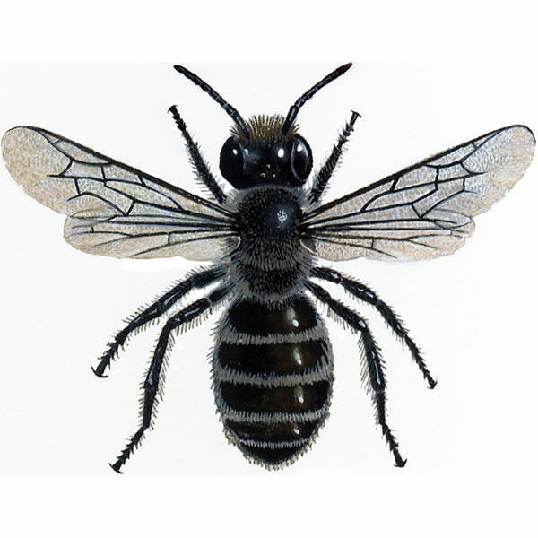 Cavity Bee For Sale | Bees | Breed Information | Omlet - photo#49