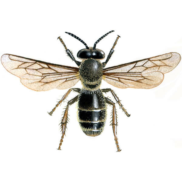 Honeybee For Sale | Bees | Breed Information | Omlet - photo#33