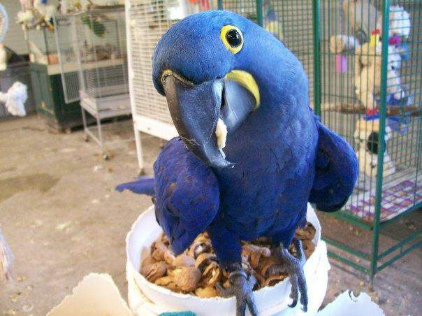 Hyacinth Macaw For Sale Parrots Breed Information Omlet