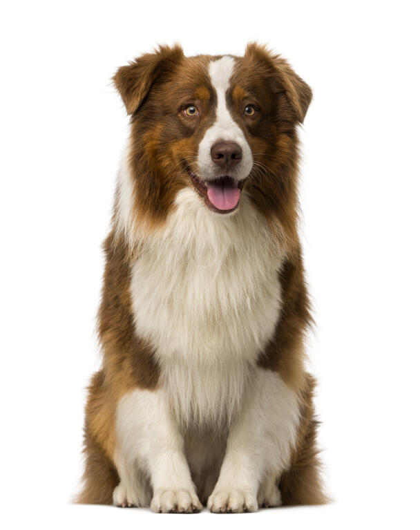 Border Collie | Dogs | Breed Information | Omlet