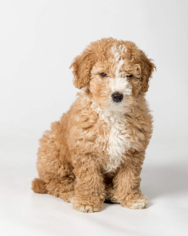 Gallery For gt English Water Dog Puppy