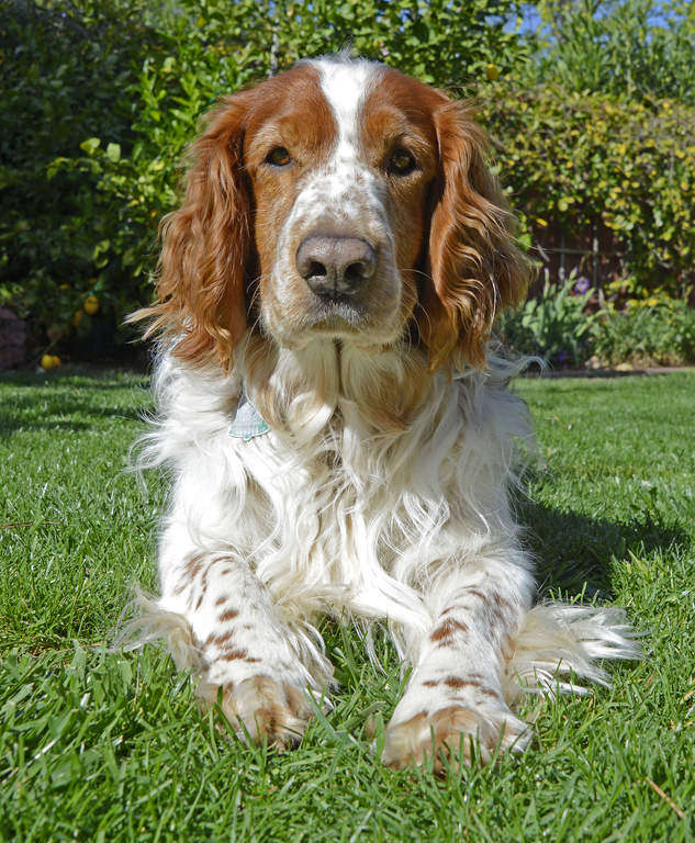 Springer Spaniel (Welsh) | Dogs | Breed Information | Omlet
