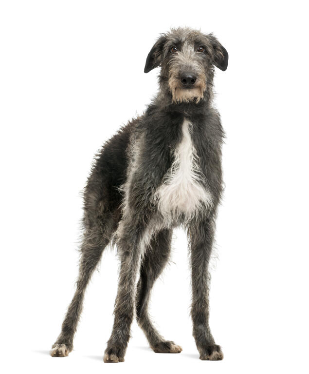 Schipperke Scottish Deerhound | D...