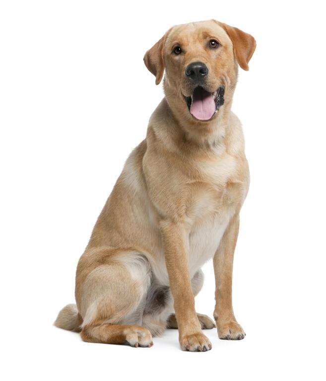 Labrador Retriever | Dogs | Breed Information | Omlet