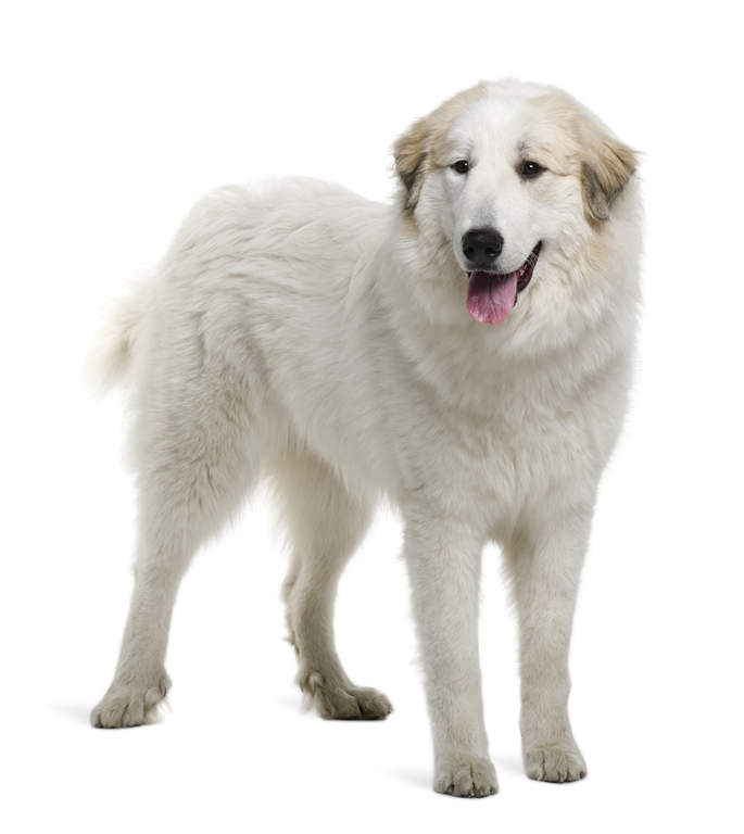 Pyrenean Mountain Dog | Dogs | Breed Information | Omlet