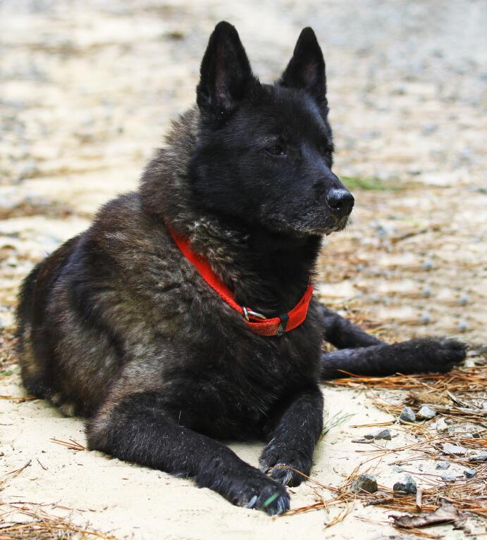 Norwegian Elkhound | D...