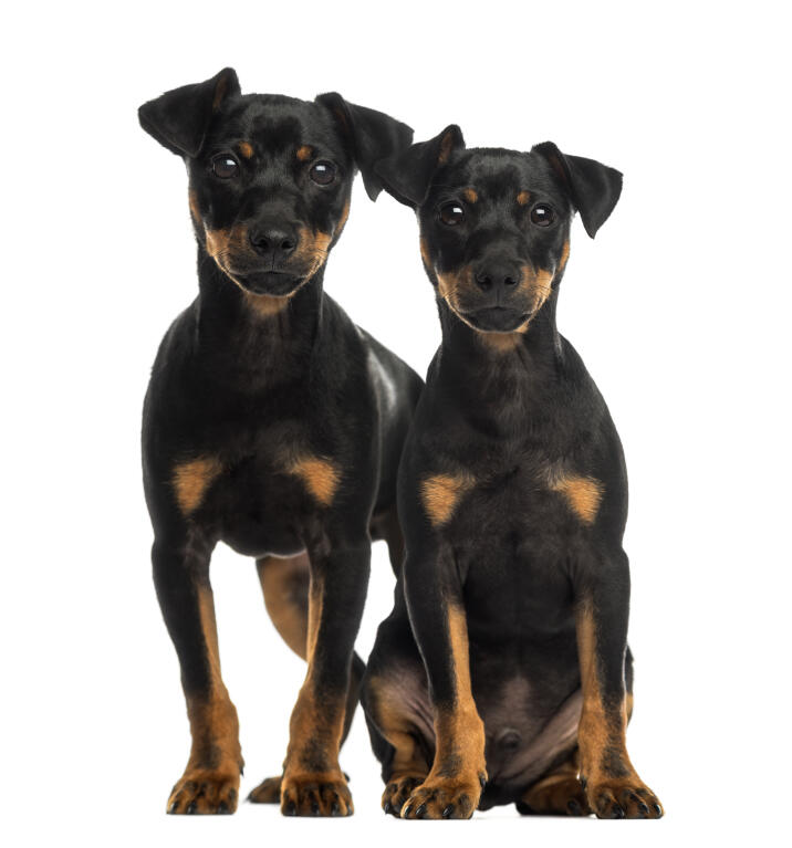 Doberman Pinscher | Dogs | Breed Information | Omlet German Mastiff Breeds