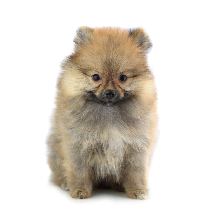 pomeranian intelligence pomeranian dogs breed information omlet 8393