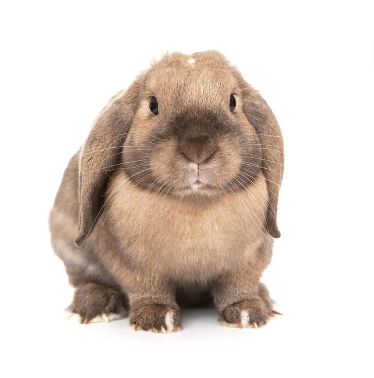 Dwarf lop rabbits - photo#17