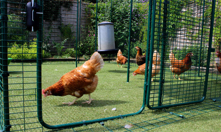 3x3x2 Walk in Chicken Run - Chickens pecking in run