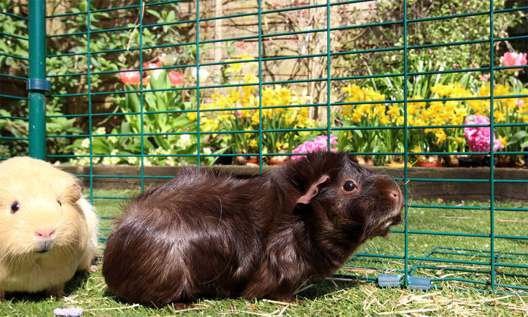 Your guinea pigs will be happy and relaxed in their Outdoor Guinea Pig Run