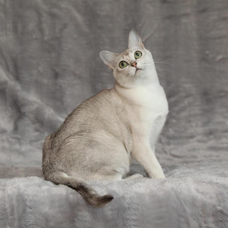 Asian Burmilla Cats Breed Information Omlet