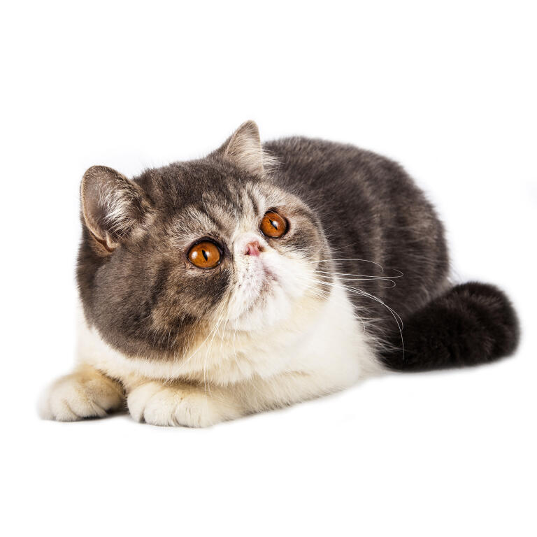 Exotic Shorthair | Cats | Breed Information | Omlet Exotic Shorthair Tabby