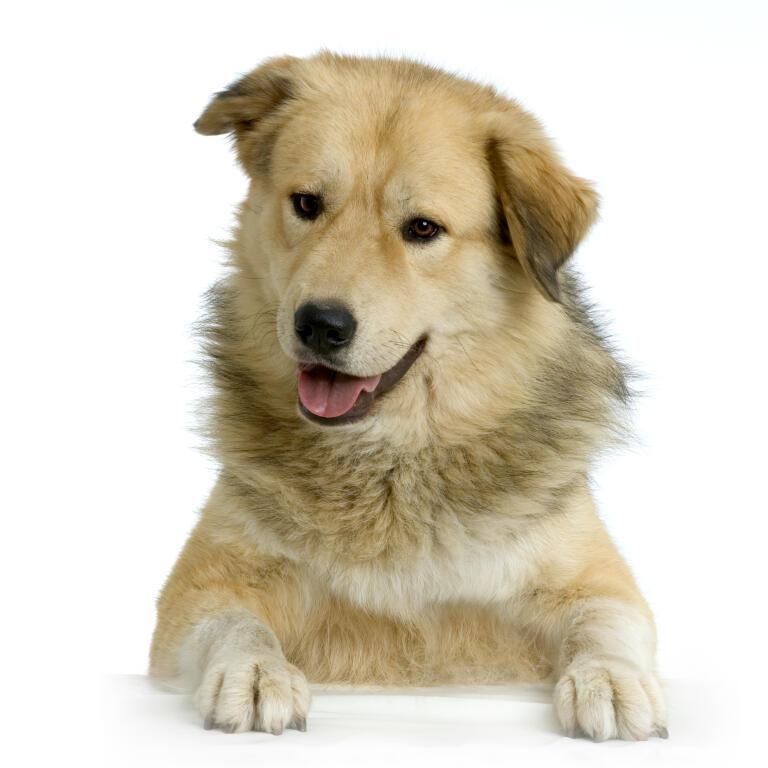 Anatolian Shepherd Dog | Dogs | Breed Information | Omlet