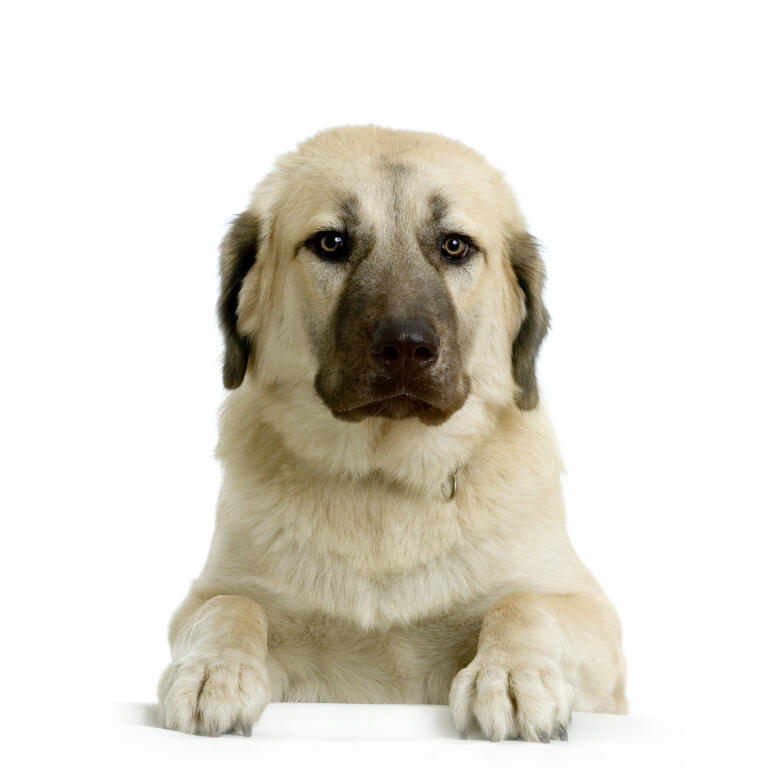 Anatolian Shepherd Dog | Dogs | Breed Information | Omlet