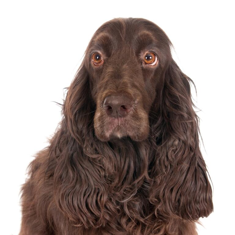 Field Spaniel | Dogs | Breed Information | Omlet
