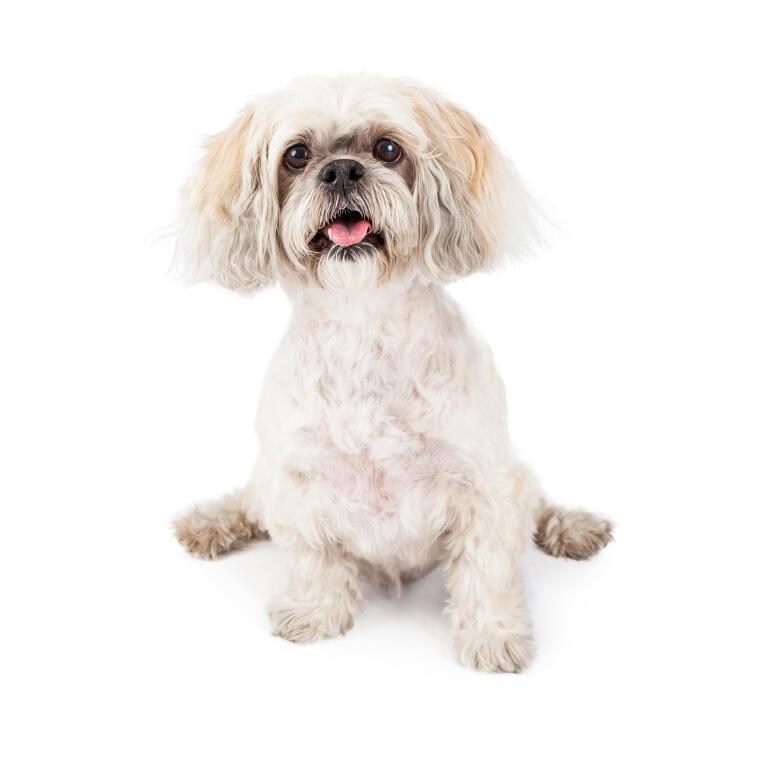 Lhasa Apso Dogs Breed Information Omlet