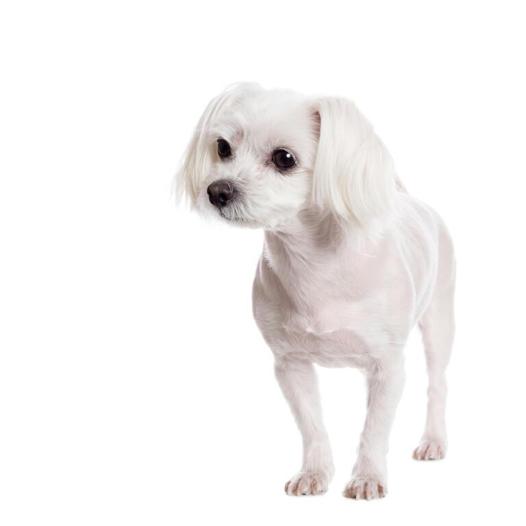 Maltese Dogs Breed Information Omlet