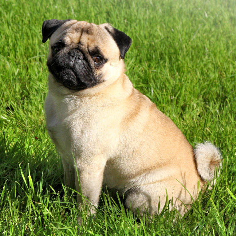 Pug Dogs Breed Information Omlet