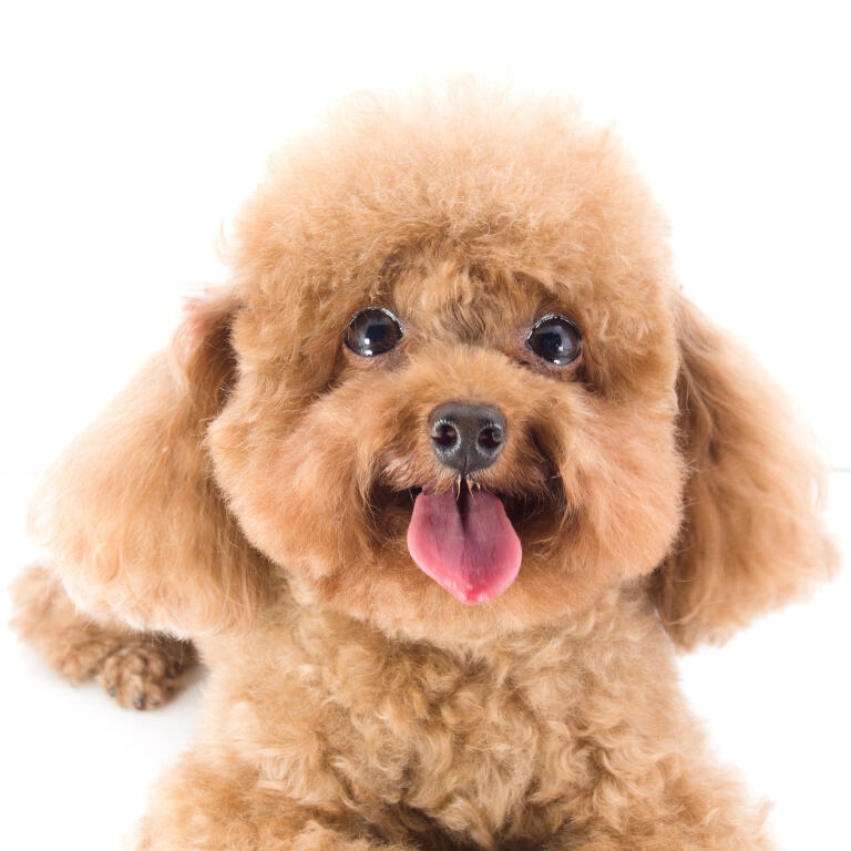 Toy Poodle Dogs Breed Information Omlet