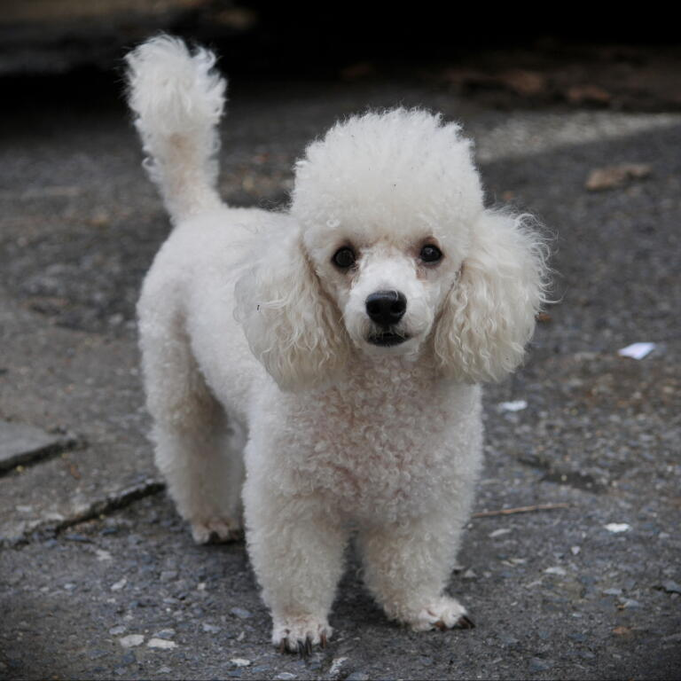 Toy Poodle | Dogs | Breed Information | Omlet