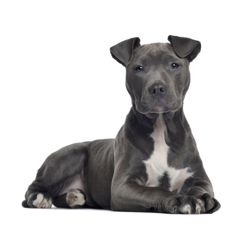 Crossed Staffy Breeds Of Dogs