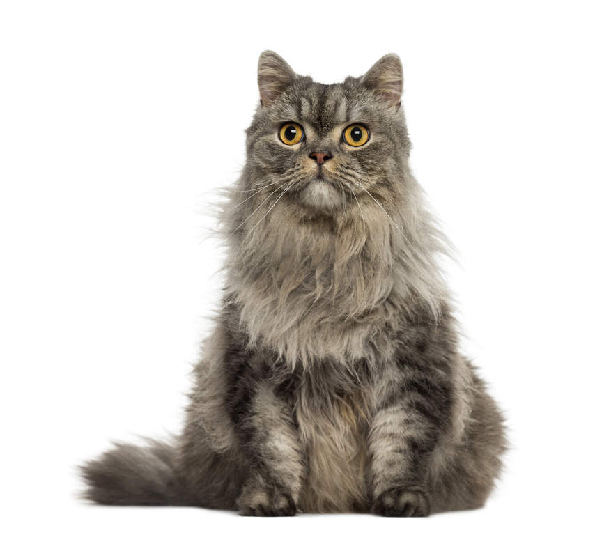 persian tabby and tortie cats breed information omlet
