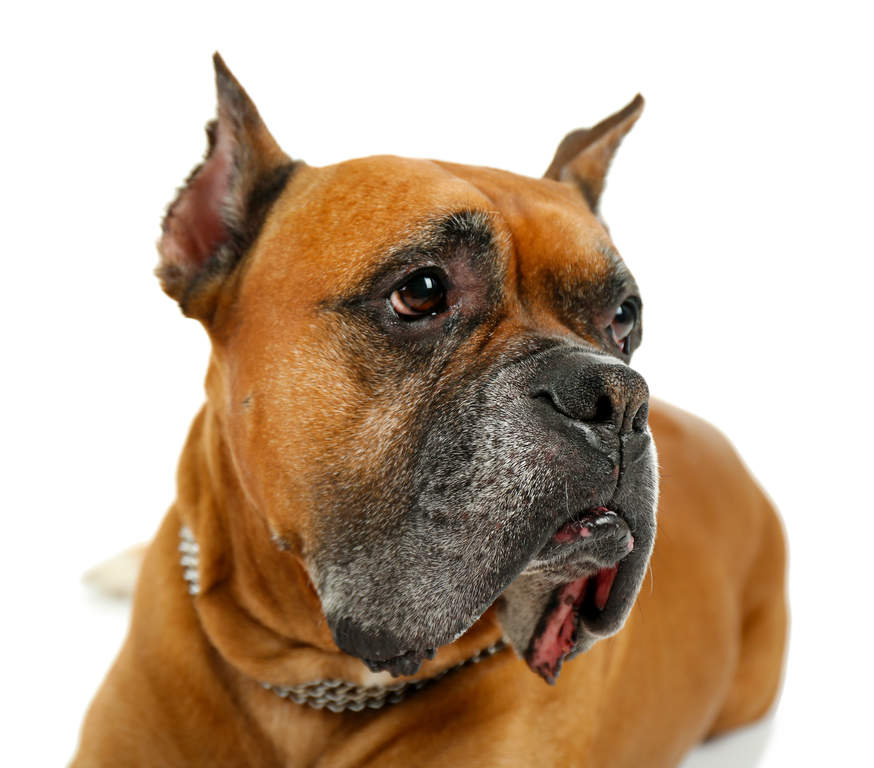 Boxer | Dogs | Breed I...